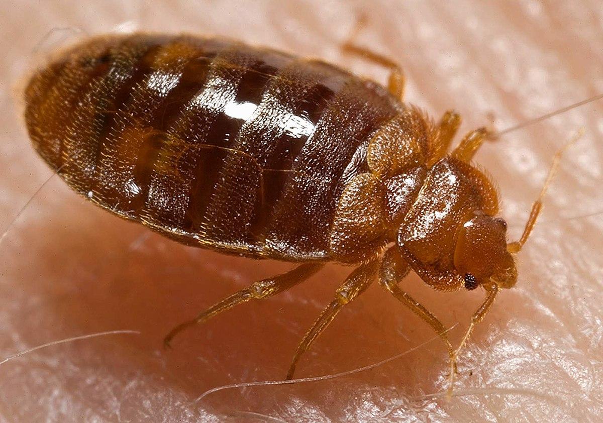 1200px-Bed_bug,_Cimex_lectularius