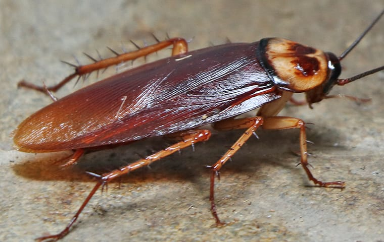 Cockroach-Addison-Pest-Control-Of-Texas