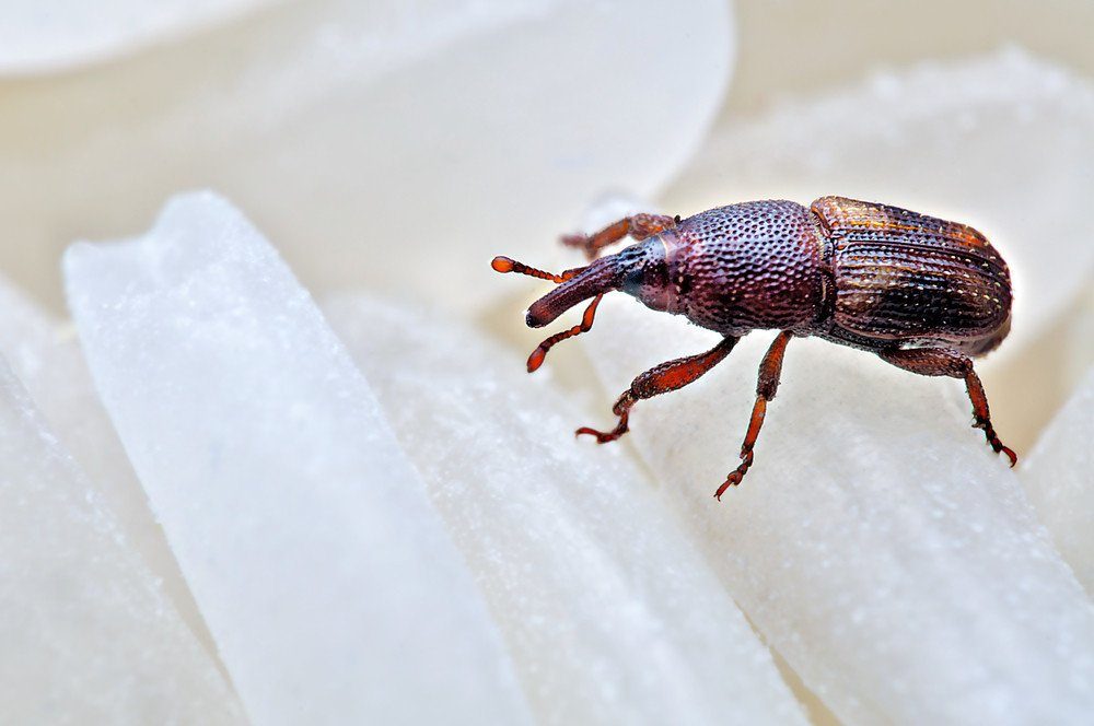 Rice-weevil-on-rices