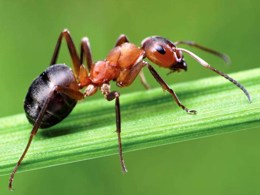 ant-wood-grass-horse-Formica-insect